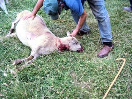 Pastore getta una carogna di pecora sbranata nel cortile della Provincia, e poi sparge benzina