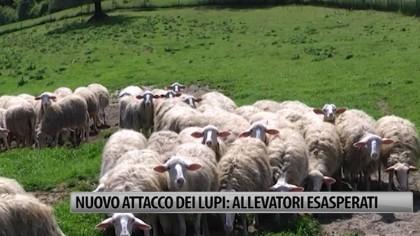 Lupi di nuovo all'attacco: allevatori esasperati – VIDEO