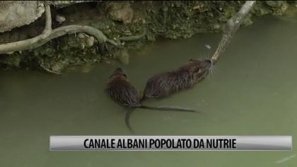 Fano: Canale Albani popolato dalle Nutrie – VIDEO