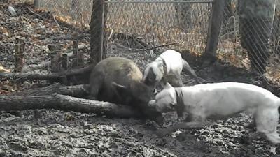 Combattimenti cani-cinghiali:  denunciate sette persone