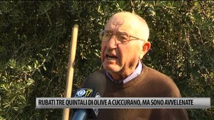 Rubati oltre tre quintali di olive a Cuccurano, ma sono avvelenate – VIDEO