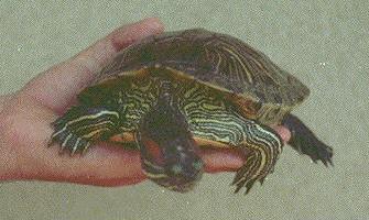 Tartaruga spiaggiata a Baia Flaminia