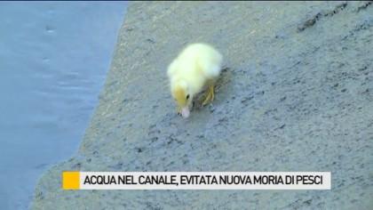 Acqua nel canale, evitata nuova moria di pesci e anatre – VIDEO