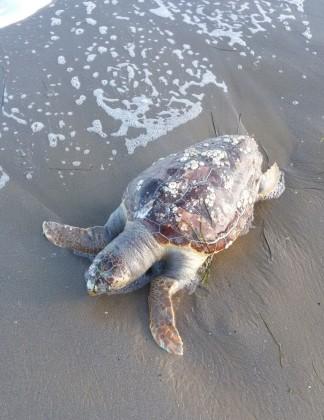 Rinvenute spiaggiate tre carcasse di tartarughe marine