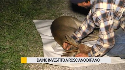 Daino investito a Rosciano di Fano – VIDEO