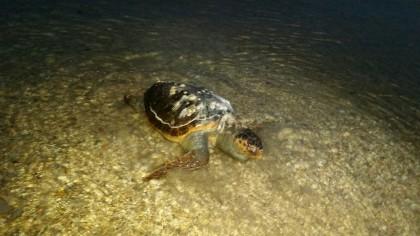 Tartaruga spiaggiata a Fano