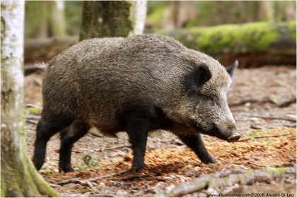 Manifestazione in Regione per i danni all'agricoltura causati da cinghiali e lupi