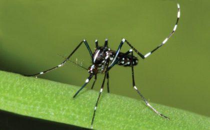 Zanzara tigre, nuovi interventi di disinfestazione a Fano: ecco le zone interessate