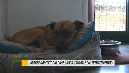 Ladri senza cuore lanciano il cane dal terrazzo – VIDEO