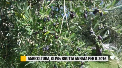 Agricoltura, olive: brutta annata quella del 2016 – VIDEO