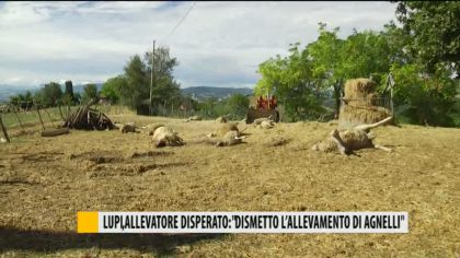 """Lupi, allevatore disperato: """"Dismetto l'allevamento di agnelli"""" – VIDEO"""