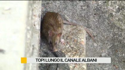 Topi lungo Canale Albani – VIDEO