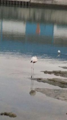 Al porto di Fano l'odissea del Fenicottero ferito e abbandonato