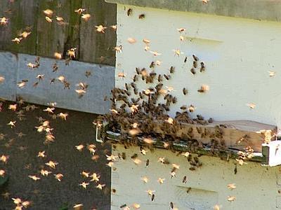 Cacciatore punto da uno sciame di api. Colpito da choc anafilattico