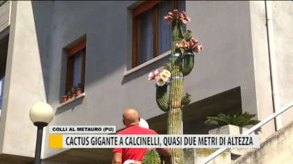 Colli al Metauro, svetta sul balcone un cactus di due metri  – VIDEO