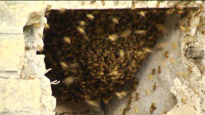 Alveare con migliaia di api vicino alla camera mortuaria di Fano – FOTO