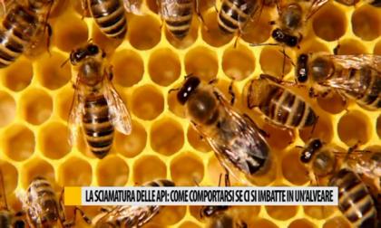 La sciamatura delle api, come comportarsi se ci si imbatte in un'alveare – VIDEO