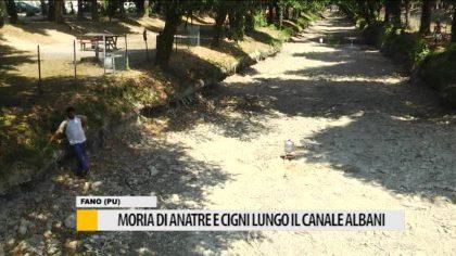 Moria di anatre e cigni lungo il canale Albani