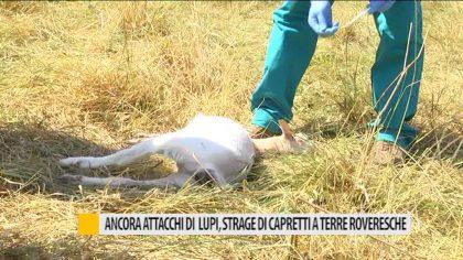 Ancora attacchi dei lupi, strage di capretti a Terre Roveresche