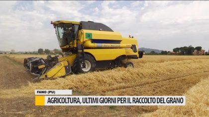 Agricoltura, ultimi giorni per il raccolto del grano