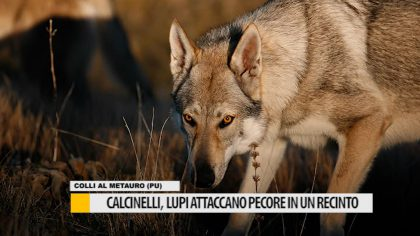 Calcinelli: lupi attaccano pecore in un recinto – VIDEO