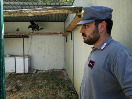 Denunciato il presunto bracconiere che ha sparato alla giovane aquila reale nel Fabrianese
