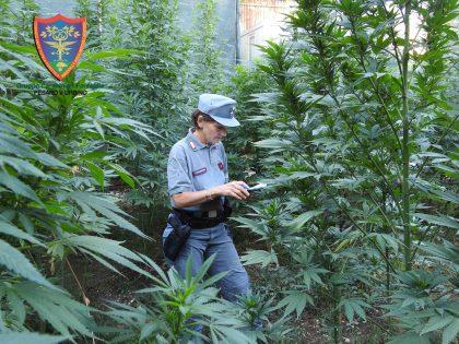 Coltivava marjuana nell'orto: arrestato e condannato 50enne – VIDEO
