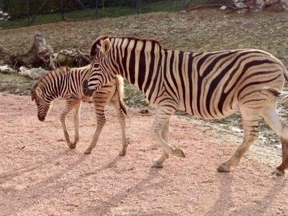 Il parco Zoo Falconara dà il benvenuto al primo cucciolo di zebra dell'anno