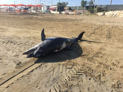 Delfino spiaggiato a Fano. Forse ucciso dalle reti da pesca