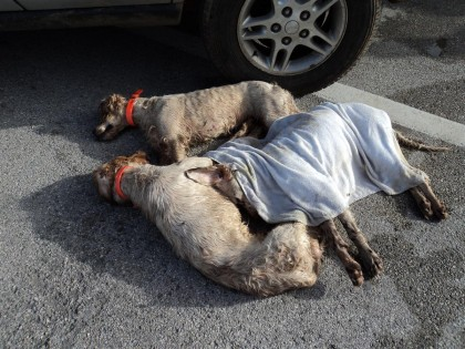 Sequestrati cani maltrattati e deceduti al porto di Ancona (immagini forti)