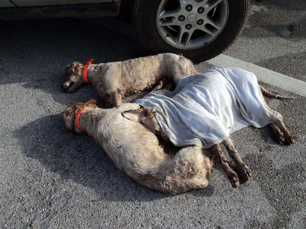 cani deceduti