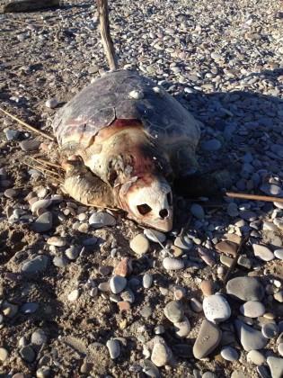 Tartaruga trovata morta in spiaggia a Sassonia a Fano