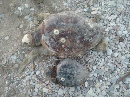 Tartarughe morte trovate spiaggiate a Fano
