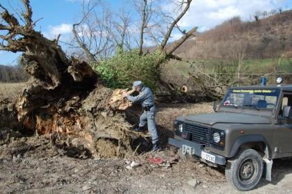 Maltempo: quercia monumentale a Mercatello fra gli alberi abbattuti – VIDEO