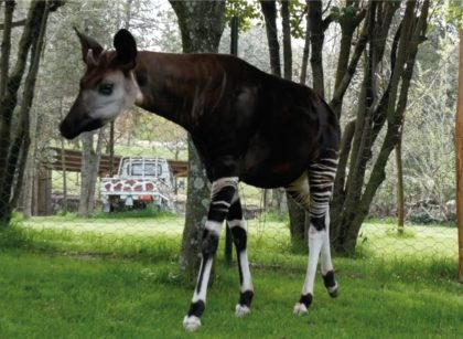 Parco Zoo di Falconara: arrivati due esemplari di okapi