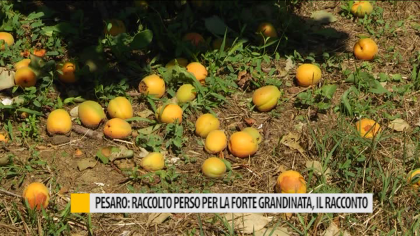 Pesaro, raccolto perso per la forte grandinata, il racconto – VIDEO