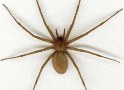 Segnalata la presenza del ragno Violino a Fano. E' uno dei più velenosi al mondo – VIDEO