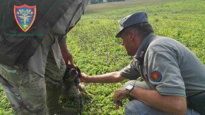 Antibracconaggio nel pesarese: multe e sequestri di animali selvatici