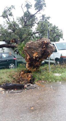 Violento nubifragio a Fano: grossa quercia cade sulle auto. Auto bloccate, sottopassi allagati (video e foto)