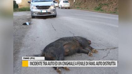 Incidente tra auto ed un cinghiale a Fenile di Fano. Auto distrutta – VIDEO