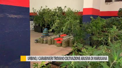 Urbino, i Carabinieri trovano coltivazione abusiva di marijuana – VIDEO