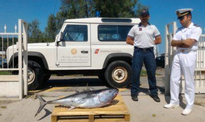Pesca: sequestrato un tonno rosso di 50 kg venduto a un ristoratore fanese. Multe per 2.800 euro