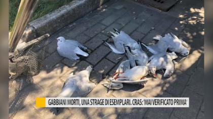 """Gabbiano morti, una strage di esemplari. Cras: """"Mai verificato prima"""" – VIDEO"""