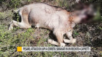 Pesaro, attacco di lupi a Cerreto. Sbranati in un recinto 4 capretti – VIDEO