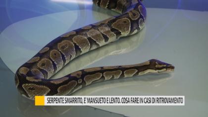 Serpente smarrito. è mansueto e lento. Cosa fare in caso di ritrovamento – VIDEO