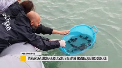 Tartaruga Luciana: rilasciate in mare trentaquattro cuccioli – VIDEO
