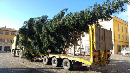 Arriva l'albero di Natale, alto 15 metri è stato donato da una famiglia di Fano